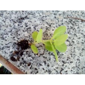 Crásula multicava 2 plantas 5cm. aprox.
