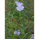 Common Flax, Linseed (Linum usitatissimum) 10gr seeds (+1000 seeds aprox.)