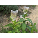Pennsylvania Red tabaco (nicotiana tabacum) +500 semillas