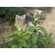 Pennsylvania Red tobacco (nicotiana tabacum) +500 seeds