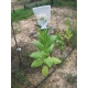 Shirey tabaco (nicotiana tabacum) +500 semillas