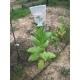 Shirey tobacco (nicotiana tabacum) +500 seeds