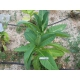 Bolivian Criollo black tobacco (nicotiana tabacum) +500 seeds