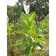 Bolivian Criollo black tabaco (nicotiana tabacum) +500 semillas