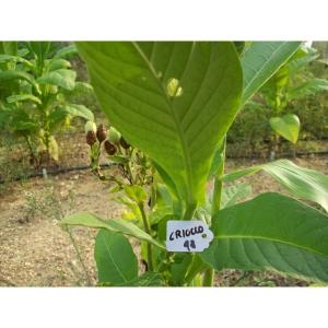 Criollo 98 tabaco (nicotiana tabacum) +500 semillas