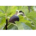 2 CUTTINGS FIG TREE ''Black Mission'' ficus carica