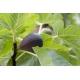 2 BOUTURES Ficus carica '' Black Mission ''