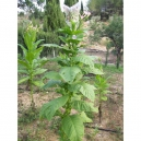African red tabaco (nicotiana tabacum) +500 semillas