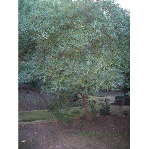 Pittosporum tobira / Japanese Pittosporum 20 seeds