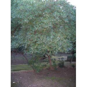 Pittosporum tobira / Pitosporo 20 semillas