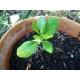 Pittosporum tobira / Pitosporo 10 semillas