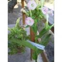 Sherazi tobacco (nicotiana tabacum) +500 seeds