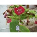 Red Russian tabac (nicotiana tabacum) +500 graines