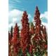 Quinoa, quinua 500 graines (Chenopodium quinoa)