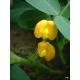 Arachide (Arachis hypogaea) 13 graines