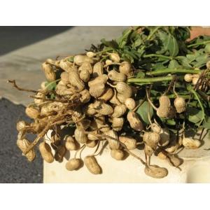 peanut (Arachis hypogaea) 13 seeds