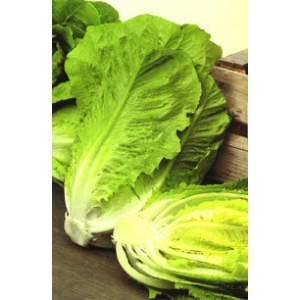 Roman lettuce - Lactuca serriola 100 seeds