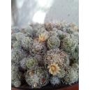 Mammillaria gracilis 3 esquejes