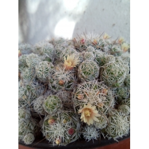 Mammillaria gracilis 3 coupe