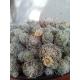 Mammillaria gracilis 3 cutting