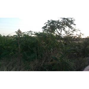 Ailanthus altissima/ Árbol del cielo 25 semillas