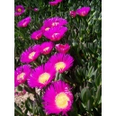 Hottentot Fig - Carpobrotus edulis 2 cutting 10 cm. aprox.