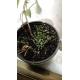 chía / Salvia hispanica - 200 graines