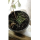 chía / Salvia hispanica - 200 seeds