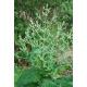 Chia / Salvia hispanica - 200 graines