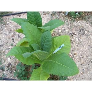 MD609 tabac (nicotiana tabacum) +500 graines