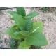 MD609 tabaco (nicotiana tabacum) +500 semillas