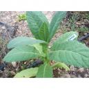 ORINOCCO  tobacco ( nicotiana tabacum) +500 seeds