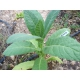 ORINOCO  tobacco ( nicotiana tabacum) +500 seeds