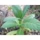 ORINOCO  tabaco ( nicotiana tabacum) +500 semillas