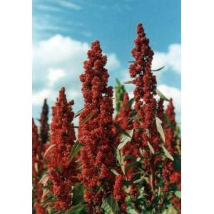 Quinoa, quinua 1kg semillas (Chenopodium quinoa)
