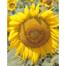 Sunflower for pipe (Helianthus annuus) 30 seeds