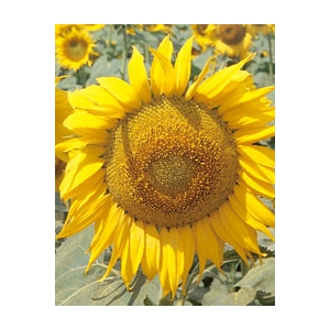 Sunflower for pipe (Helianthus annuus) 450gr seeds