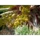 Chamaerops humilis (European Fan Palm) 10 seeds