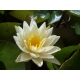 "Water lily yellow ""yellow princess"" Nymphaea 1 rhizome"