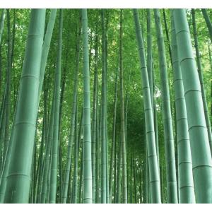 Bambú moso (Phyllostachys edulis) - 20 semillas