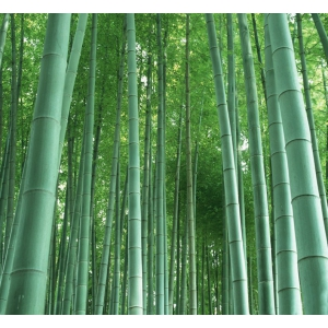 Moso bamboo (Phyllostachys edulis) - 20 seeds