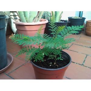 Jacaranda Mimosifolia / Brazilian Rose Wood 20 seeds