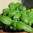 basilic italien (grande feuille) / ocimum basilicum 200 graines