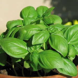 Albahaca italiana (hoja grande) / ocimum basilicum 200 semillas