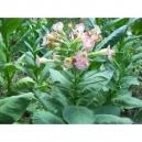 IZMIR TOBACCO ORIENTAL 1gr seeds (10.000 seeds) (NICOTIANA TABACUM)