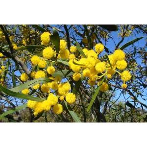 Blue Leaf Wattle - Acacia saligna 40 seeds