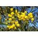 Acacia azul- Acacia saligna 40 semillas