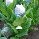 Kumanovo tabac (nicotiana tabacum)  500 graines