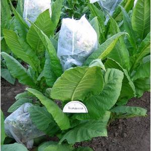 KUMANOVO  tobacco (nicotiana tabacum)  500 seeds