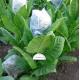 KUMANOVO tabaco (nicotiana tabacum)  500 semillas